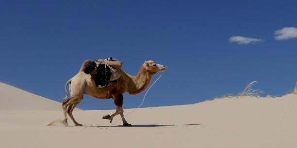 Durststrecken aushalten können - für diese Fähigkeit steht das Kamel in der Wüste oft als Vorbild Pate. Foto: hbieser/pixabay