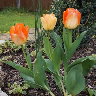 Tulpenparade im Garten des Zinzendorfhauses im Mai 2021. Foto: © Sabine Zubarik/EAT