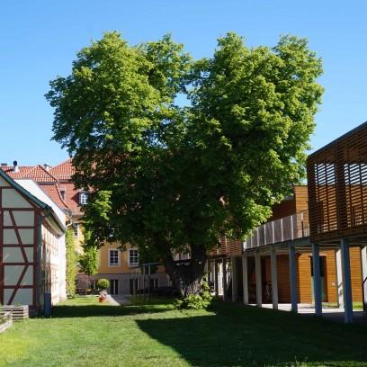 Die herzförmige Linde im Garten des Zinzendorfhauses. Foto: © EAT